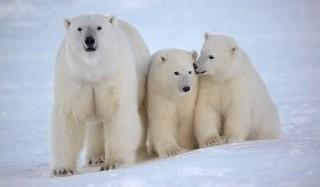 Белым медведем грозит полное вымирание к 2025 году