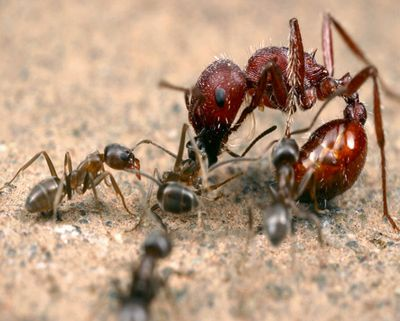 Биологи прочитали днк мурашей ирекордсмена по генам