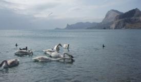 Диких лебедей приютили на подворье