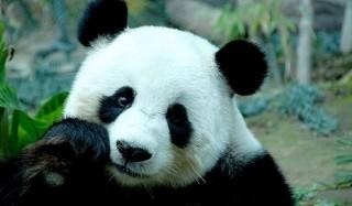 Люди научились понимать «язык панд»
