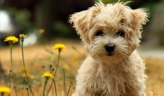 Маленькие собачки — средневековые блохоловки