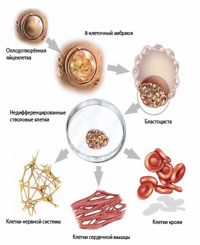 Пересадка склетками запретила отторжение органов