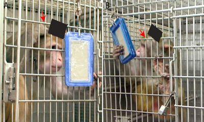 Самосознание обезьян проявилось в зеркальном отражении