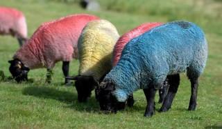 Зачем шотландцы красят овец?